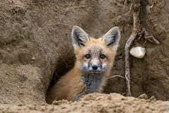 1806_0943 Red Fox (wild prairie man) Tags: redfox vulpesvulpes wildlife animal mammal canid kit young den wild prairie valmarie saskatchewan canada copyrighted jamesrpage