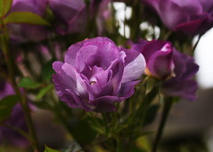 DSC_0335 (PeaTJay) Tags: nikond750 sigma reading lowerearley berkshire macro micro closeups gardens outdoors nature flora fauna plants flowers rose roses rosebuds