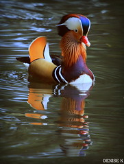 Male Mandarin Duck - On The Look Out (denisekennedy) Tags: malemandarinduck mandarin natural nature dublin canon