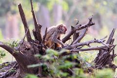 Early Morning Yawning Macaque (PB2_2709) (Param-Roving-Photog) Tags: rhesus macaque monkey animal wildlife nature jungle forest deadtree yawning calling openmouth portrait dhaulkhand rajaji nationalpark sanctuary wildlifephotographer nikond7200 tamron150600 wildlifesafari morning sunlight naturallight