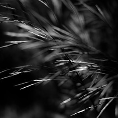 Forest Grass 021 (noahbw) Tags: d5000 dof nikon ryersonwoodsforestpreserve abstract blackwhite blackandwhite blur bw depthoffield forest grass monochrome motion movement natural noahbw spring square wind windy woods