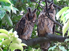 Northern long-eared owlets (jubewakayama) Tags: nature owl owlet long eared northern asio otus juvenile brother