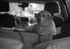 Travel Throne (PositiveAboutNegatives) Tags: leica rangefinder m3 vintagecamera leicam3 leitz 50mmsummierendr dualrange film analog bw blackandwhitefilm rodinal coolscan dog lab labrador yellowlab