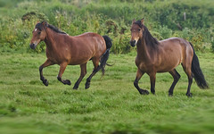 """""""Come On Then, Who Needs Royal Ascot...."""" (4) (paulinuk99999 (lback to photography at last!)) Tags: paulinuk99999 newforestpony ponies wild stanpitmash running galloping canter race dorset hampshire british wildlife mammal sal70400g"""