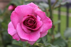 Purple rose (hopedorman) Tags: plant nature botany flower flora natural bloom floral spring pink green bush rose purple