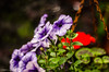 Just Hanging About!! (BGDL) Tags: lightroomcc nikond7000 nikkor50mm118g bgdl niftyfifty petunias geraniums hangingbasket bokeh week25 weeklytheme flickrlounge