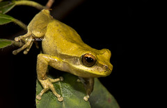 "Whirring Tree Frog (Litoria revelata) (Gus McNab) Tags: whirringtreefrog litoriarevelata amphibian amphibians frog frogs herp herpetofauna herpetology amphibia australia ""australian frogs"" frog"" amphibians"" amphibian"" treefrog ""tree hylidae hylid wildlife ""wildlife photography"" fauna"