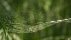 home repairs (sheila swindell) Tags: spiderweb web spider grass dew morning outdoor insect weaving