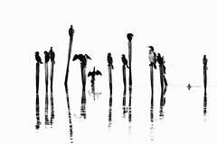 B&W Cormorant and Pygmy Cormorant (douwesvincent) Tags: black white contrast water birds bulgaria sticks bw wings air art nature photo compo weird frame wash