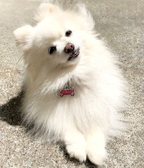 Molly enjoying the sunshine (mariannedeselle (slowly catching up)) Tags: 'whitedog' pom pomeranian molly perro chien dog