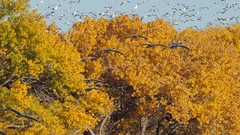 2017-11 Soaring Sandhill Cranes at Bosque del Apache NWR - video (Tara Tanaka Digiscoped Photography) Tags: video bird sandhillcrane snowgoose manualfocus gh5 nikon300mmf28ais bosquedelapachenwr newmexico flight