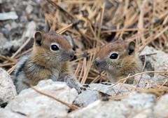 Young Groung Squirrels (Ed Sivon) Tags: america canon nature lasvegas wildlife wild western southwest desert clarkcounty vegas flickr nevada