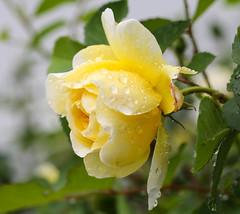 Rose (LuckyMeyer) Tags: flower fleur rose green yellow rain drop water tropfen