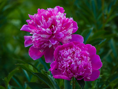 Blossoming pink peony (psvrusso) Tags: background beautiful beauty blossom blossoming color colorful flora floral flower fresh garden green ornamental peony petal petals pink plant purple red season stem summer