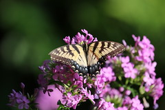 Swallowtail Butterfly on phlox (Sam0hsong) Tags: july4th swallowtail phlox flowers northcarolina