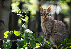 wildcat (Anja Anlauf) Tags: wildcat wildkatze zoo duisburg säugetier tier europäisch jung