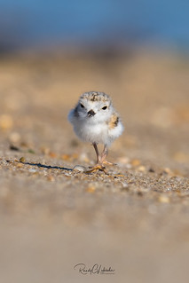 Piping Plover | 2018 - 34