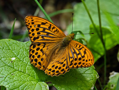 Fritillary (RobLesliePhotography) Tags: leica100400mm