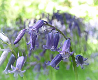 Appeal Of Bluebells!