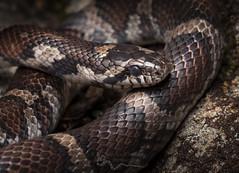 Eastern Milksnake(Lampropeltis triangulum) (cre8foru2009) Tags: lampropeltistriangulumtriangulum easternmilksnake snake macro tamron snakes reptile herping nature wildlife georgia