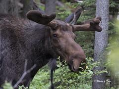 Bull Moose (Canon Queen Rocks (2,170,000 + views)) Tags: moose wild wildlife animals bullmoose large animal mammal nature canada alberta kananaskis spray lakes trees