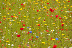 Summertime (maureen bracewell) Tags: cornwall godolphin july flowers garden summer wildflowers nature bright colourful meadow cannon maureenbracewell poppies daisies england uk