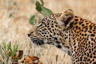 Young leopard. Botswana