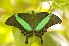 A touch of Green! (Jay Bees Pics) Tags: butterfly insect greenbandedswallowtail butterflyfarm stratforduponavon warwickshire england summer 2018 macro papilopalinurus butterflyofasia coth coth5 ngc npc specanimal specanimalphotooftheday