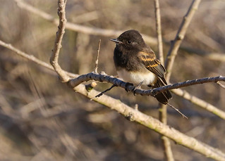 Black Phoebe juvenile Madrona Marsh Torrance California-241