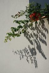 ombres (marthelelièvre) Tags: flowers fleurs flore bignone ombres graphismes lumière sony 1650mm nex6 ramures feuillage
