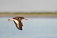 American Oystercatcher (adbecks) Tags: american oystercatcher nikon 300 pf review d500 f4 wildlife nj