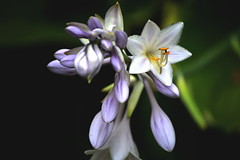 Bulbs (jeffr71) Tags: macro flower indiana garden pollen purple