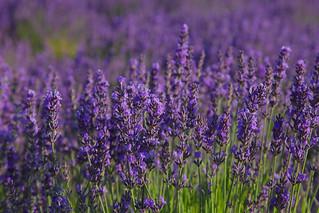 Summer Lavender Kent