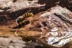 Spiegel-Wespe (tan.ja1212) Tags: wespe insekt spiegelung wasser tier wasp insect reflection water animal