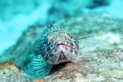 Sand Diver 1807028299w (gparet) Tags: scubadiving scuba diving fish coral reef ocean sea water underwater photography diver swim sport outdoor caribbean bonaire buddy dive resort buddydive buddydiveresort marshscuba marshscubasupply