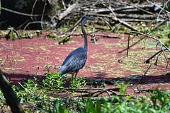 Great Blue Heron_1143 (2) (Porch Dog) Tags: 2018 garywhittington nikond750 nikkor200500mm kentucky wildlife nature july summer