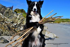 Dog-Wood (ASHA THE BORDER COLLiE) Tags: funny dog picture wood sticks fetch ashathestarofcountydown connie kells county down photography