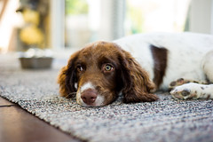 After deciding he needed a wee at 4am .... he's now snoozing while we are wide awake ! (TrevKerr) Tags: dog dogportrait gundog puppy pup spaniel springer springerspaniel englishspringerspaniel nikon d3s nikon50mmf18 nikonsb900