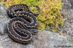 Vipera aspis zinnikeri Ariège 8496 (Swing Olive) Tags: vipera aspis zinnikeri ariège vipère aspic reptiles serpents venimeux