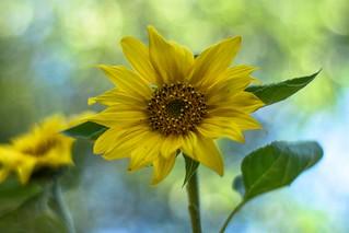 🌻 Sunflower / Csongrád County  🌞