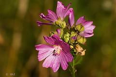 Malva Moschata (Greet N.) Tags: plant flower pink muskmallow summer nature july macro