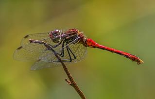 Ruddy Darter - (Male)
