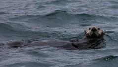 Alaska088 (lorstierlen) Tags: kodiak katmai nature wildlife birds sea otter whale puffin seal tern