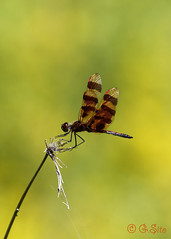 Male Halloween Pennant (Swift Wings) Tags: dragonfly insect wings nature outdoors ontario wildlife halloweenpennantdragonfly closeup bokeh