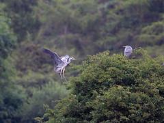 Tree-top Herons (Tony McLean) Tags: ©2018tonymclean tophilllow eastyorkshire naturephotography wildlifephotography nikond4 nikon500f4gvr greyheron