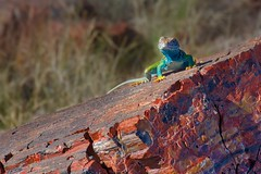 Not exactly wearing camouflage (dougbank) Tags: outdoors outside lizard animals animal horizontal nationalpark geology rocks petrifiedwood nature artsy arizona colorful