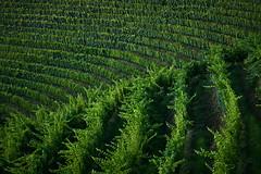 Geometrie (paolo-p) Tags: alberi trees vigneti wineyards linee lines savorgnanodeltorre povoletto