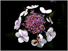 The most beautiful of all (MaxUndFriedel) Tags: garden evening darkness flower blossom hydrangea