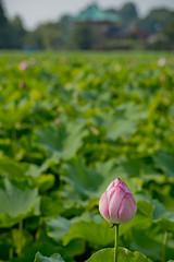 L1011324 (Camera Freak) Tags: 180716uenom10 m10 leica ueno tokyo lotus shinobazu july 2018