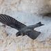 Bank Swallow (bbatley) Tags: bank swallow